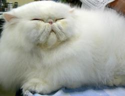 Big persian cat